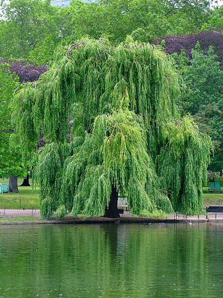 Willow-tree